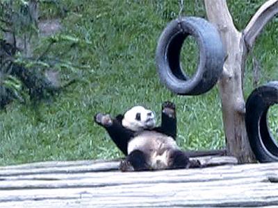 - Panda Dance